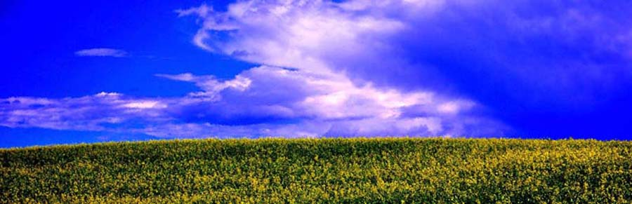 canola field early summer blue sky west central alberta, photo