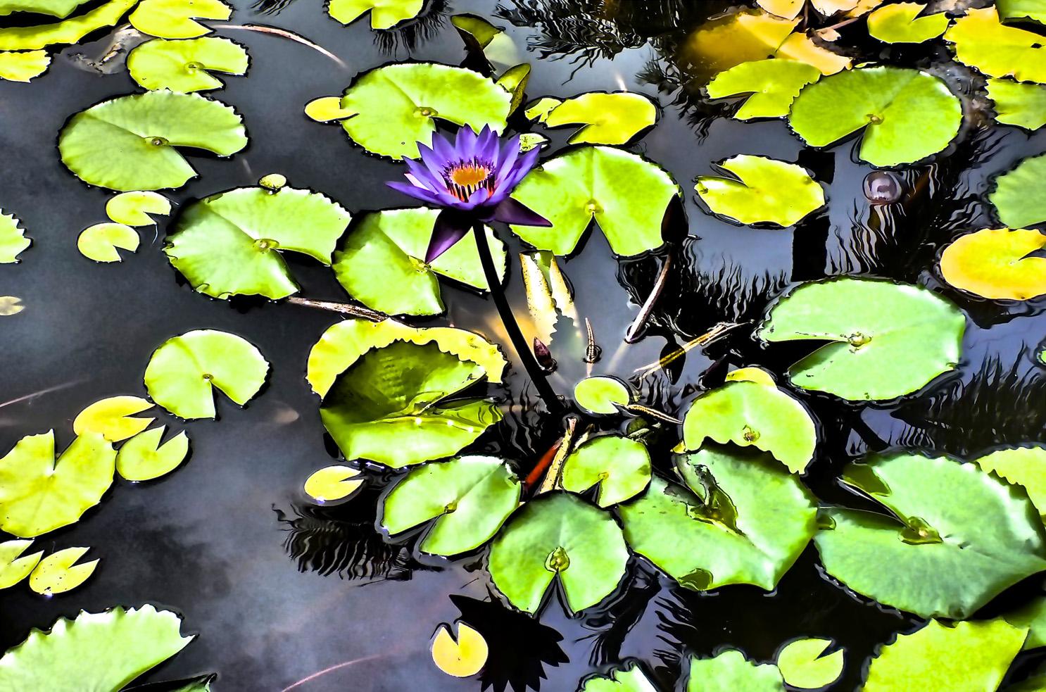 water lily bora bora tahiti, photo